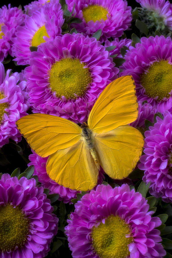 Moody Photograph - Yellow Butterfly And Pink Flowers by Garry Gay