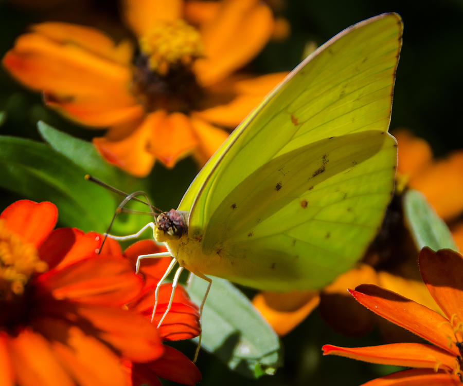 Yellow Butterfly Photograph - Yellow Butterfly by Don L Williams