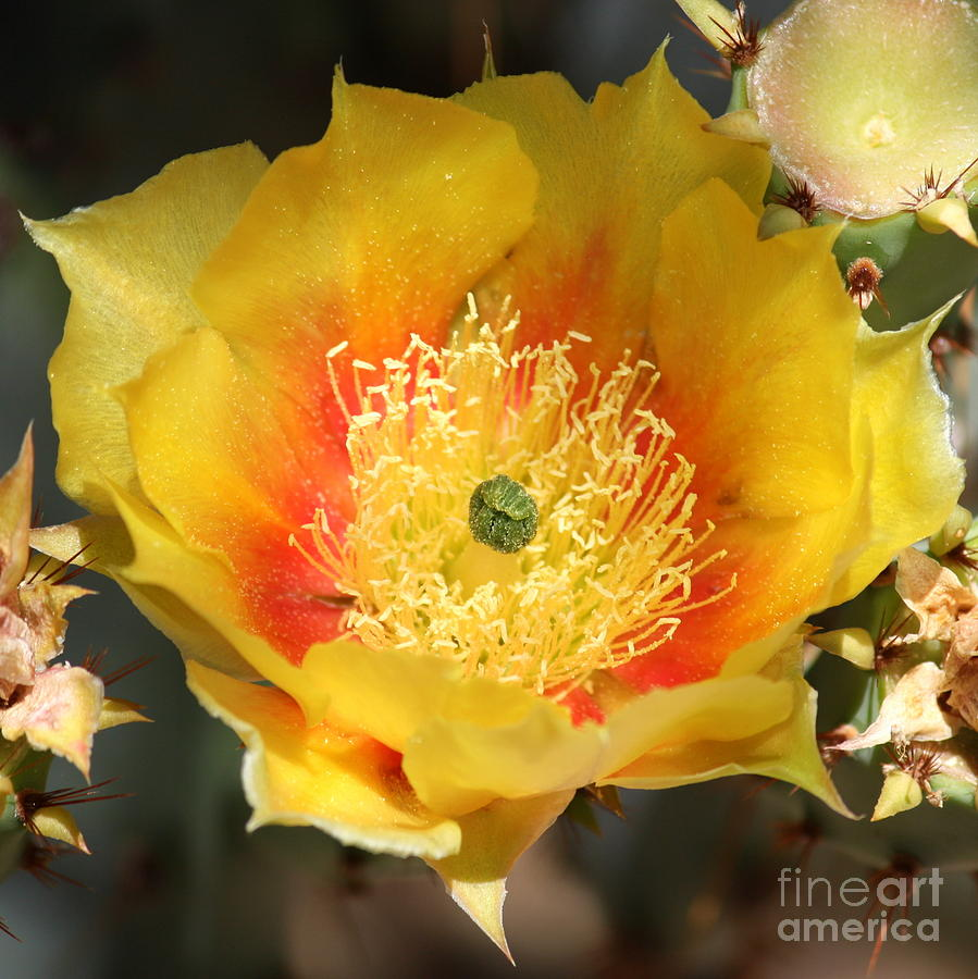 Yellow Cactus Flower Square Photograph By Carol Groenen