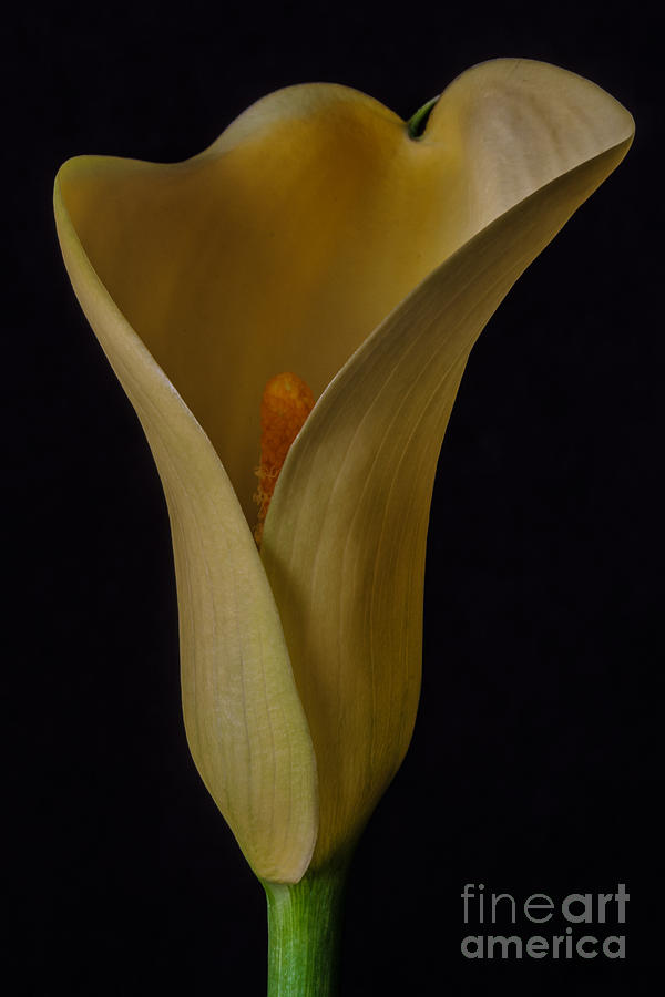 Yellow Calla Lily Photograph - Yellow Calla Lily by Mitch Shindelbower