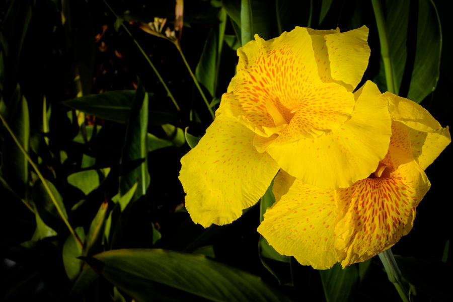 Canna Photograph - Yellow Canna Singapore Flower by Donald Chen