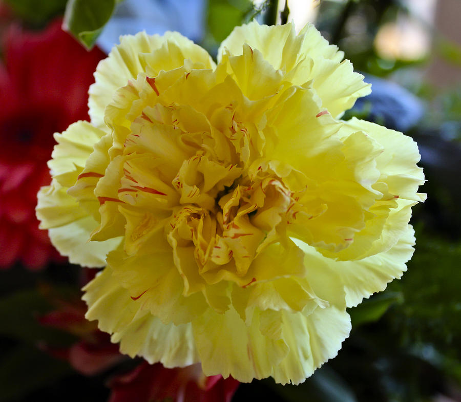 Carnation Photograph - Yellow Carnation Delight by Kurt Van Wagner