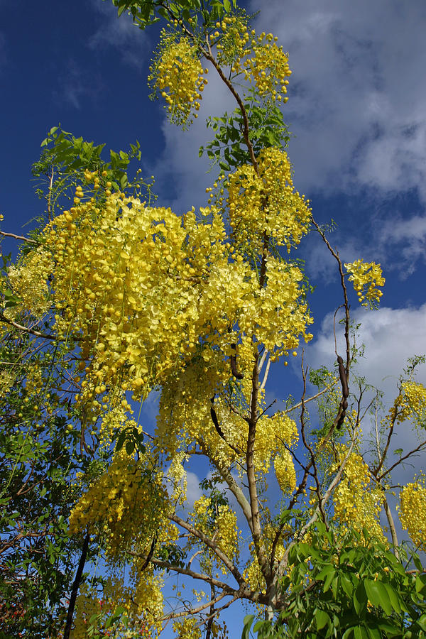 Flora Photograph - Yellow Cassia by Gordon  Grimwade