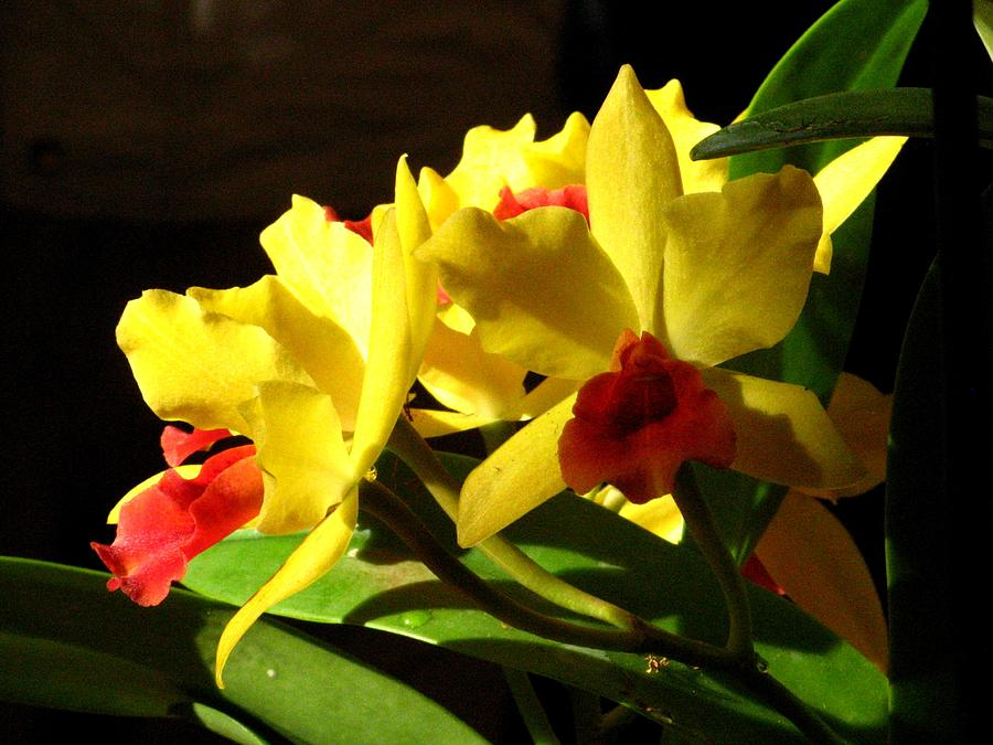 Flower Photograph - Yellow Cattleya Orchid by Alfred Ng