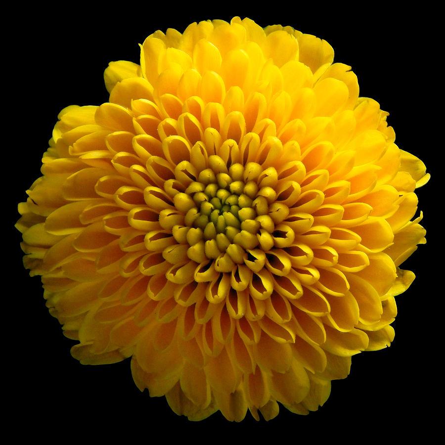 Yellow Chrysanthemum Still Life Flower Art Poster Photograph By