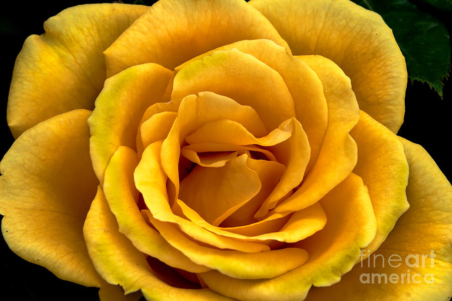 Rose Photograph - Yellow Close-up by Robert Bales