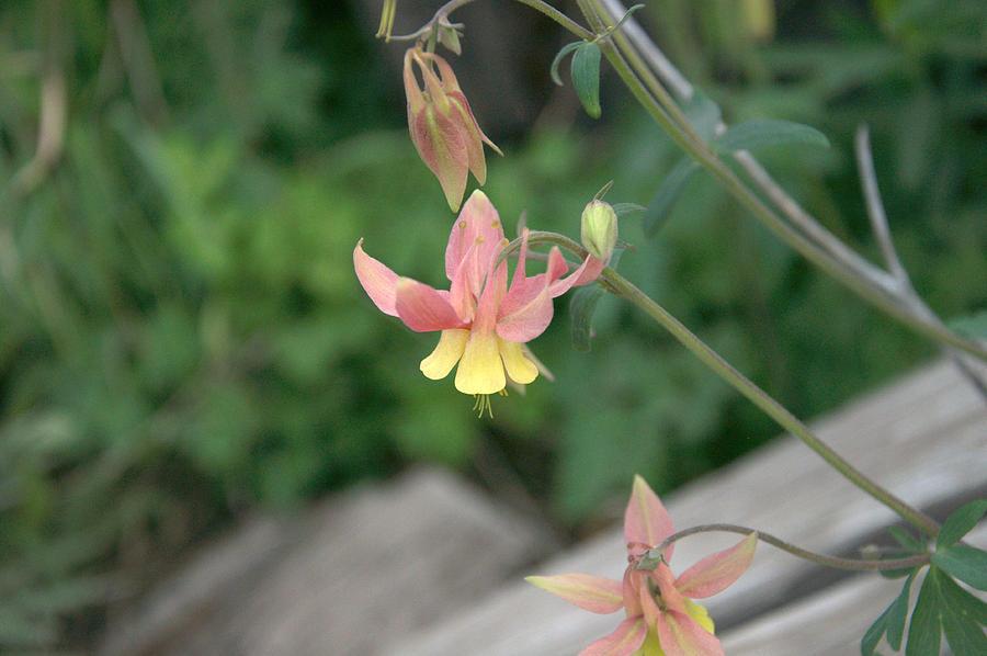 Yellow Photograph - Yellow Columbine 2 by Frank Madia