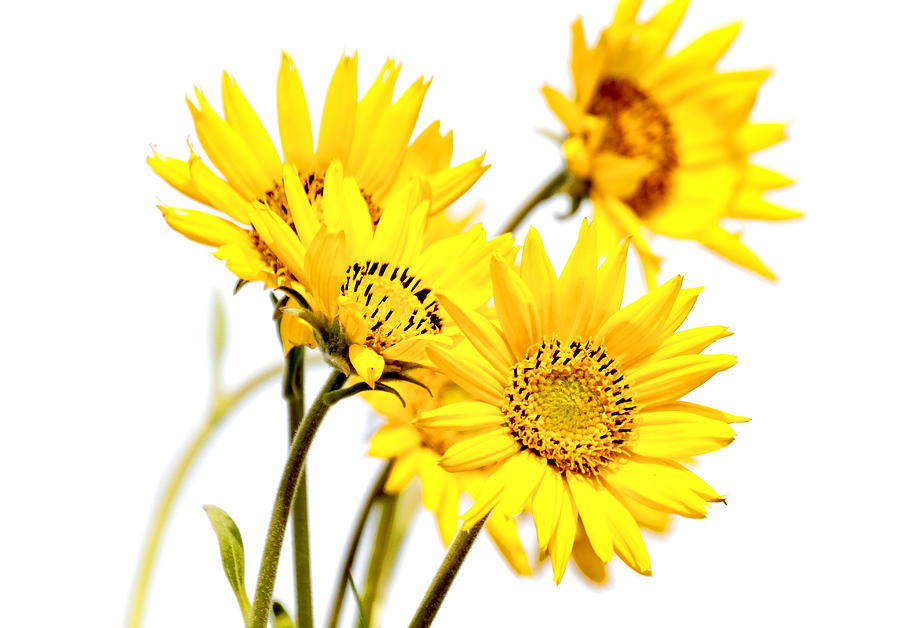Daisies Photograph - Yellow Country Wildflowers by Athena Mckinzie