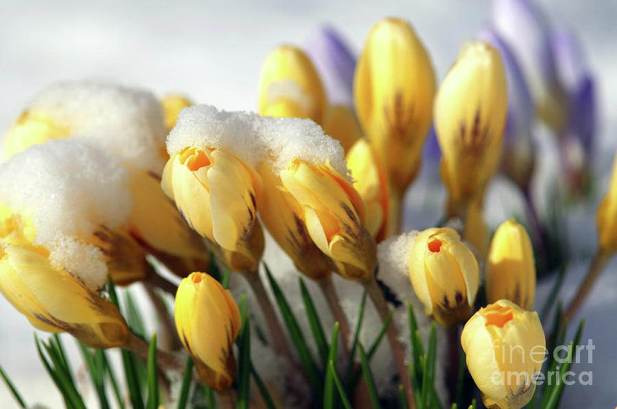 Yellow Crocuses Photograph - Yellow Crocuses In The Snow by Sharon Talson