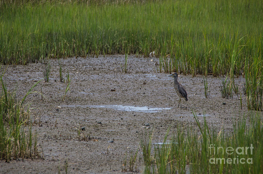 Yellow Crowned Heron On The Marsh Photograph