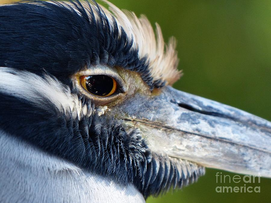 Yellow-crowned Night Heron Photograph - Yellow-crowned Night Heron by Christine Stack