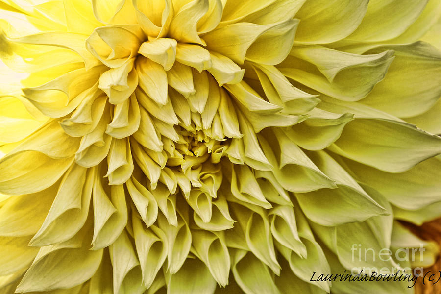 Digital Photography Photograph - Yellow Dahlia by Laurinda Bowling