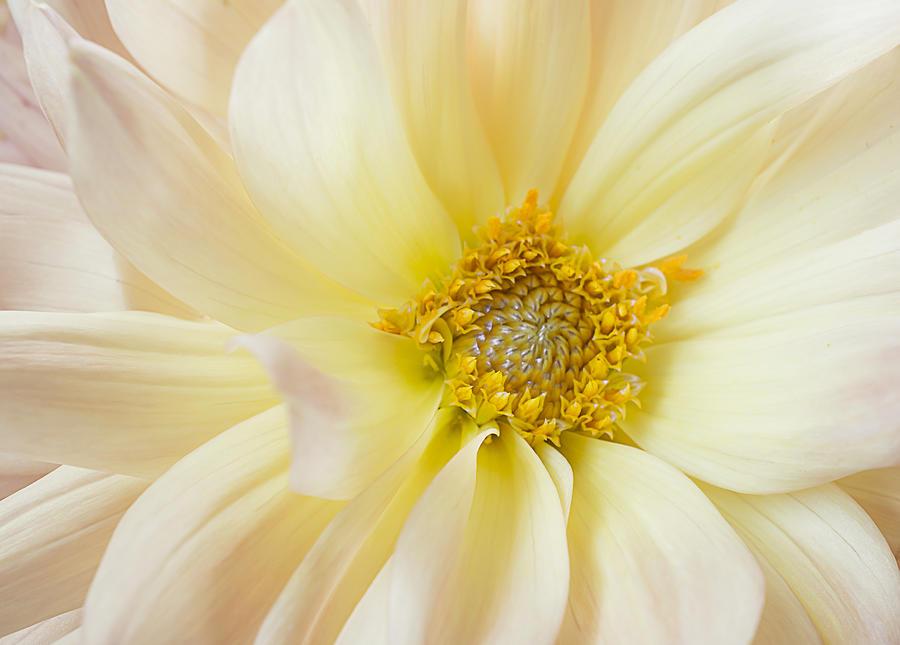 Yellow Dahlia by Mariola Szeliga