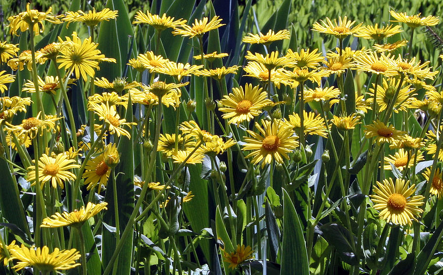 Yellow Daisies Photograph - Yellow Daisies by Sherrie Triest