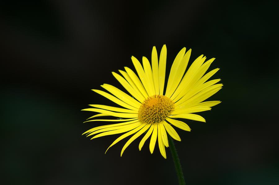 Daisy Photograph - Yellow Daisy by Chris Day