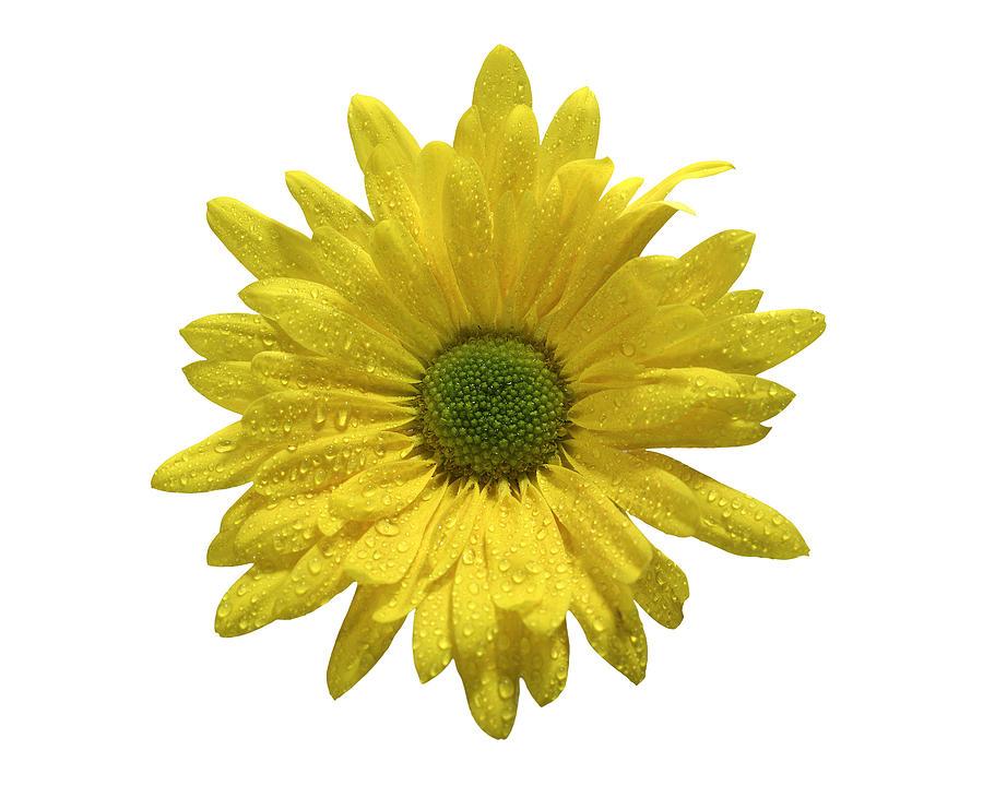 Yellow Daisy Pyrography - Yellow Daisy  by Mauro Celotti