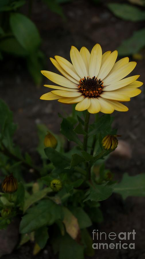 Yellow Photograph - Yellow Daisy by MSVRVisual Rawshutterbug