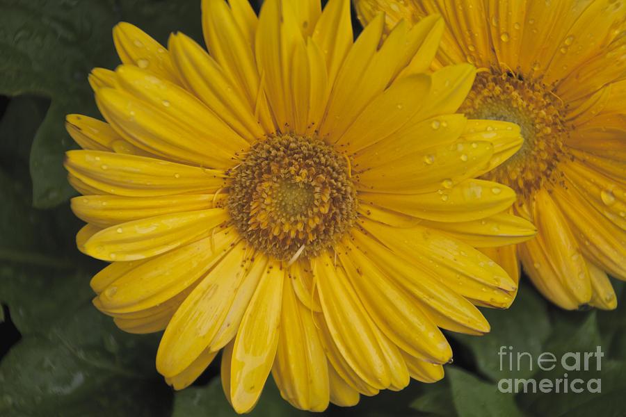 Yellow Photograph - Yellow Daisy by William Norton