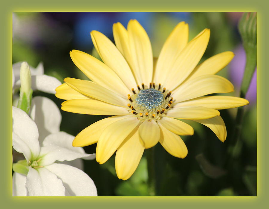 Yellow Photograph - Yellow Daisy With Boarder by Rosanne Jordan