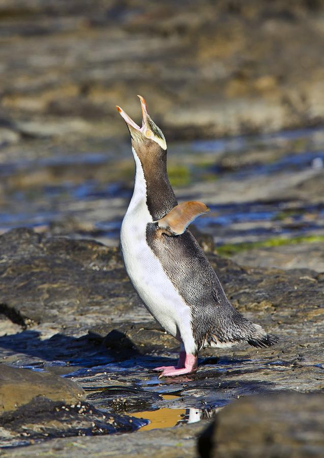 a comparison of the cardiovascular systems of yellow eyed penguins mackerel sharks and bottlenose do Find out what's known about magellanic penguins, spheniscus magellanicus, aves, sphenisciformes  sharks ~ cephalopods ~ scripps ~ woods hole ~ plos one.