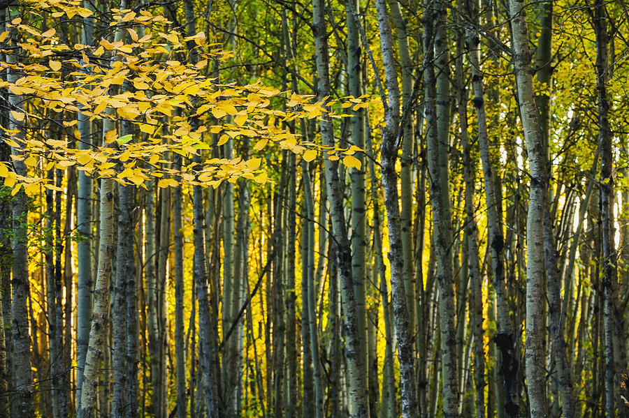 Yellow Photograph - Yellow Fall Birch Leaves Against An by Joel Koop