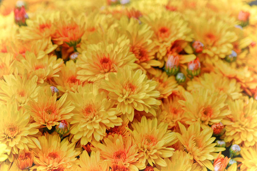 Mums Photograph - Yellow Fall Mums by Beth Sawickie
