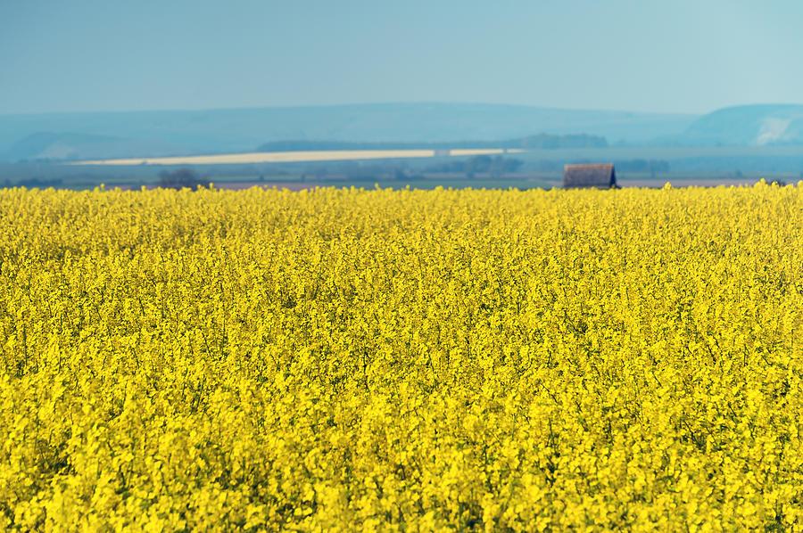 Bloom Photograph - Yellow Field by Svetlana Sewell