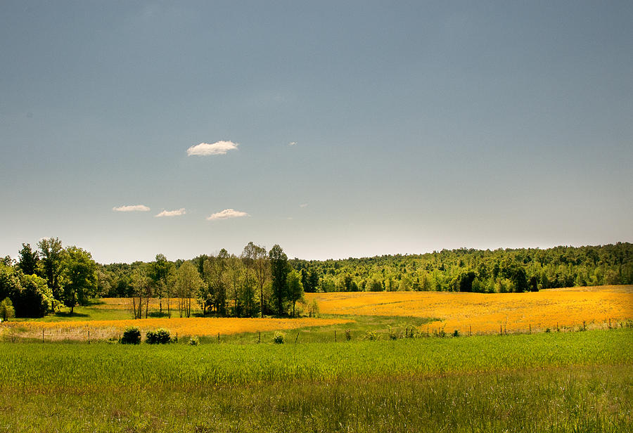 Yellow Fields by Lena Wilhite