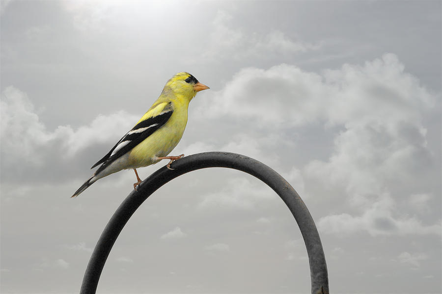 Bird Photograph - Yellow Finch A Bright Spot Of Color by Christine Till