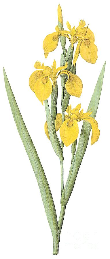 Yellow flag iris drawing by spencer mckain flower drawing yellow flag iris by spencer mckain mightylinksfo