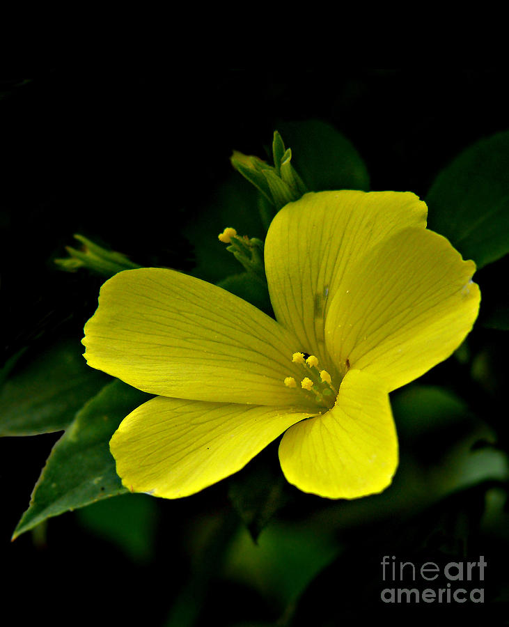Yellow flax photograph by anuj nair yellow flower photograph yellow flax by anuj nair mightylinksfo