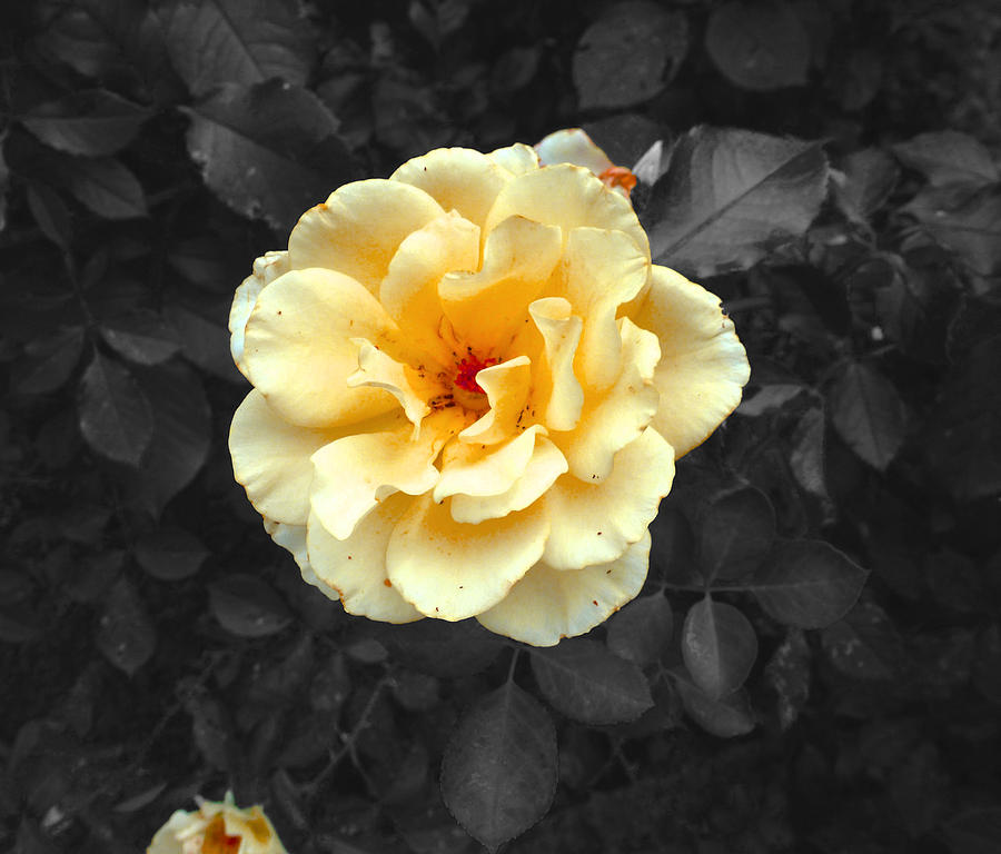 Yellow Photograph - Yellow Flower by Felix Concepcion