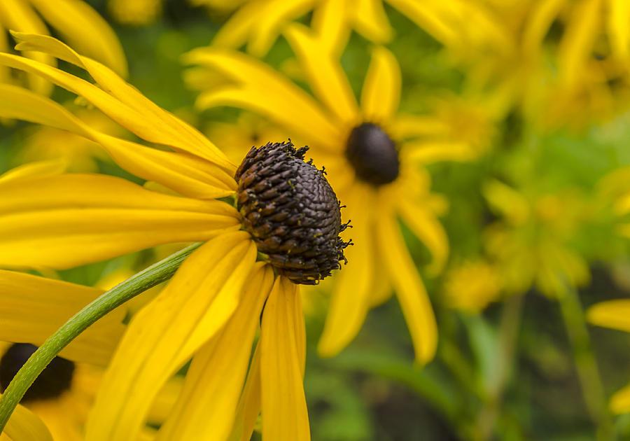Flower Photograph - Yellow Flowers by Adam Budziarek