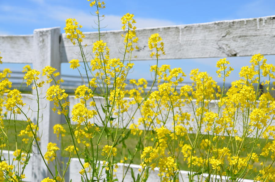 Yellow flowers and a white fence photograph by bill cannon yellow photograph yellow flowers and a white fence by bill cannon mightylinksfo