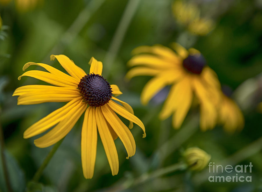yellow flowers by Louise St Romain