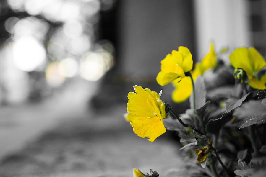 Flowers Photograph - Yellow Flowers by Nathan Hillis
