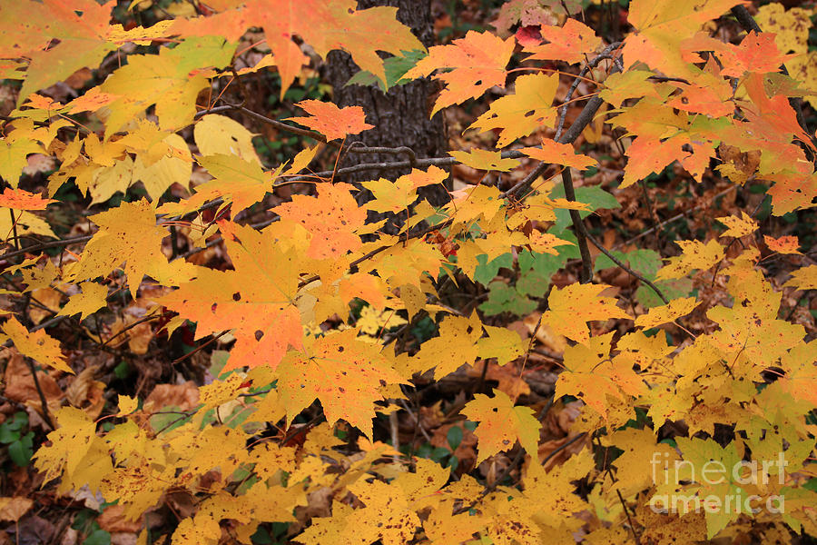 Fall Color Photograph - Yellow Foliage by Mike Mooney