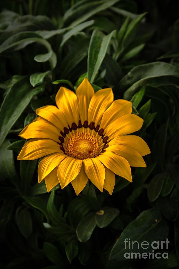 Daisy Photograph - Yellow Gazania by Robert Bales