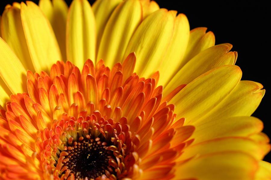 Yellow Gerbera Daisy Photograph by Susan Yorke