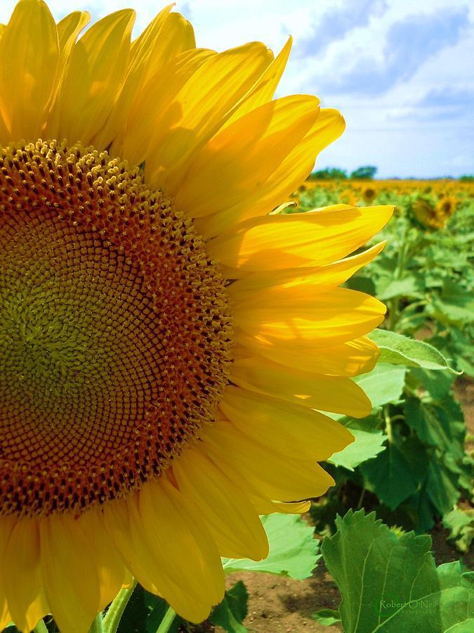 Sunflower Photograph - Yellow Glory #2 by Robert ONeil