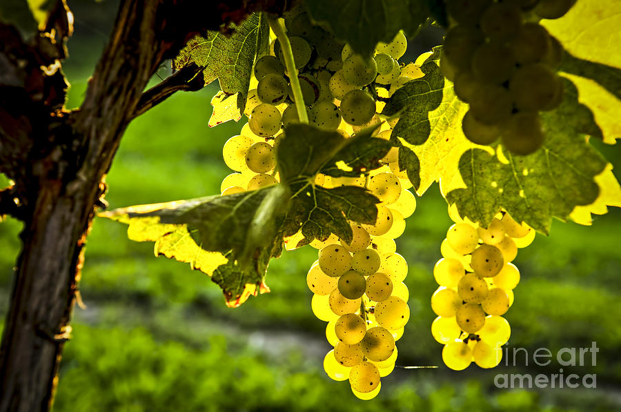 Green Photograph - Yellow Grapes In Sunshine by Elena Elisseeva