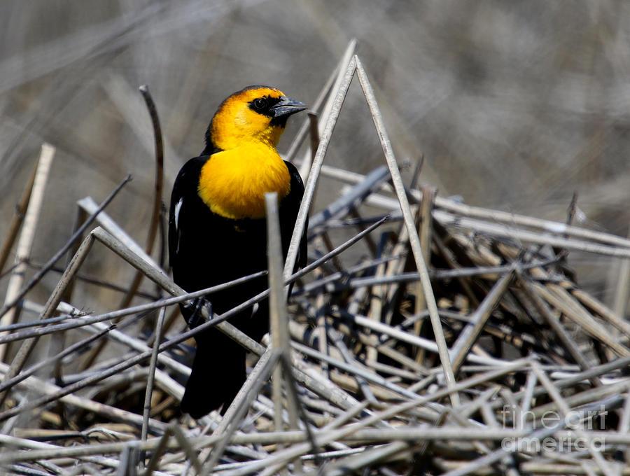 Yellow-headed Blackbird Photograph - Yellow-headed Blackbird by Marty Fancy
