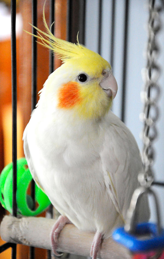Yellow Headed Cockatoo Photograph by Lonnie Paulson