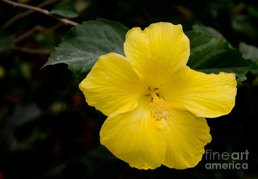 St. Lucia Photograph - Yellow Hibiscus by Laurel Best