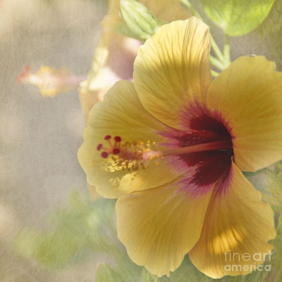 Flower Photograph - Yellow Hibiscus by Peggy Hughes