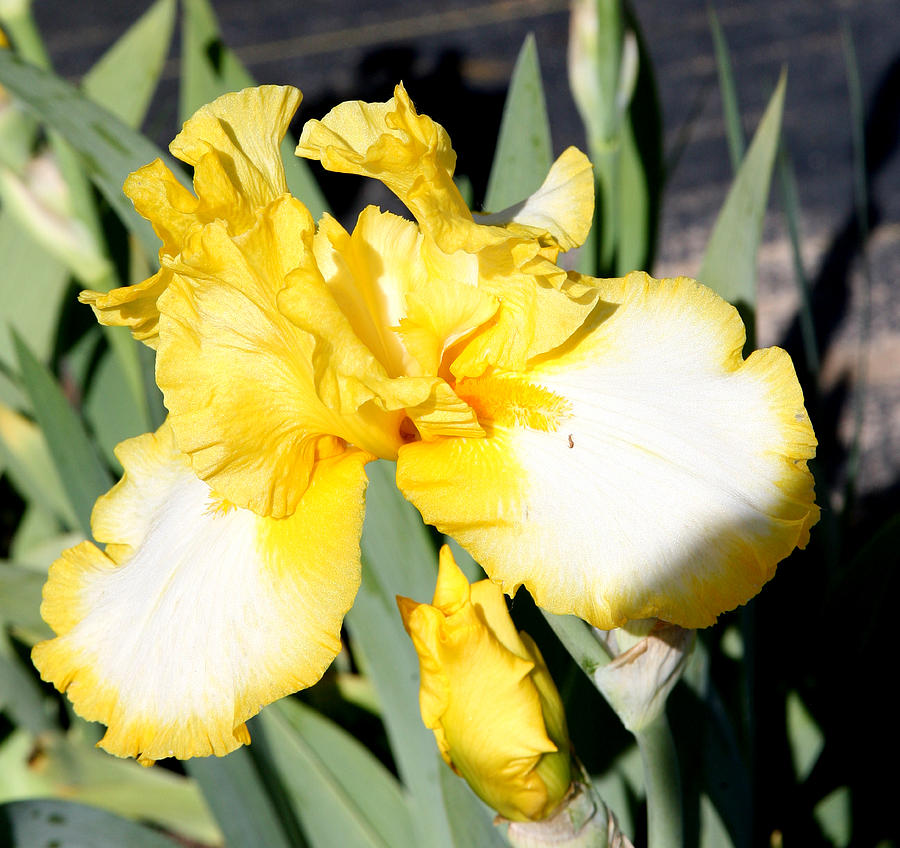 Yellow Iris Photograph