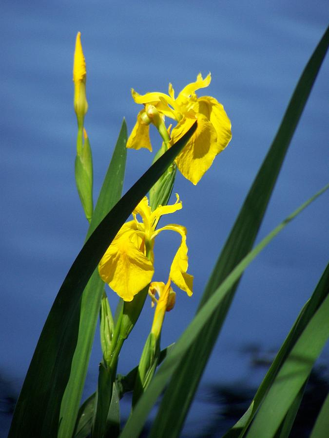 Yellow Photograph - Yellow Irises by Noreen HaCohen