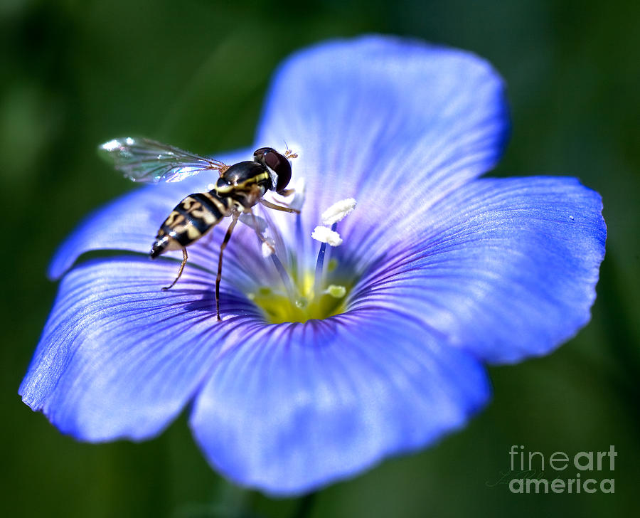 Blue Flax Flower Photograph - Blue Flax Flower With Syrphid Fly by Iris Richardson