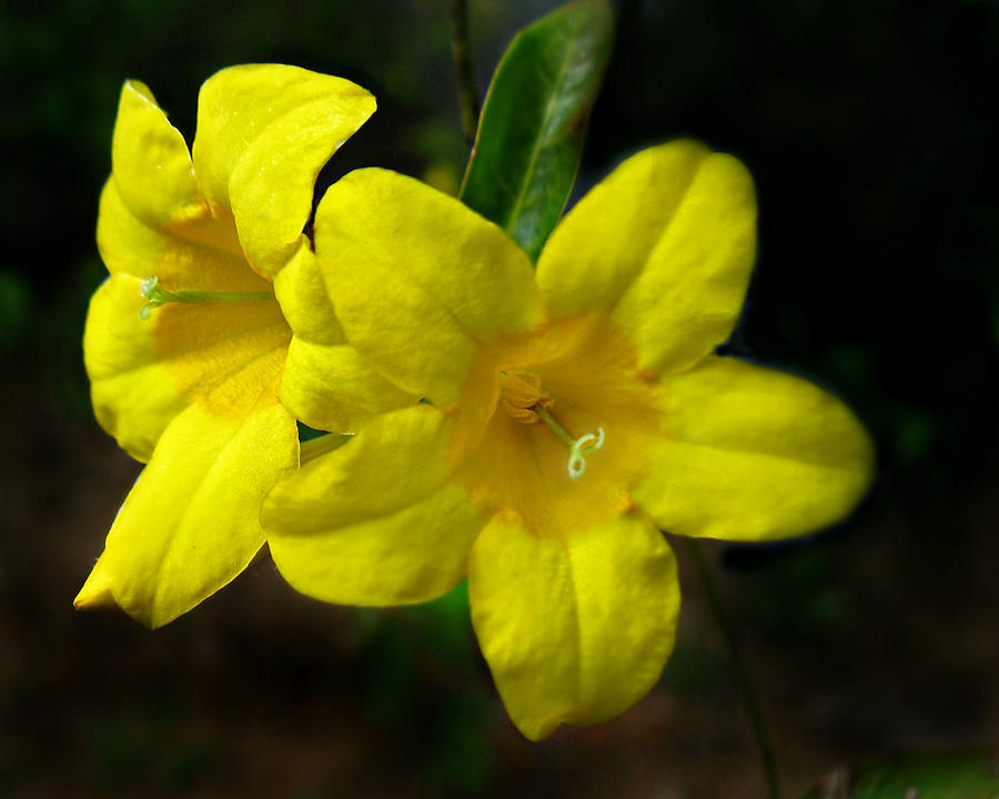 Wild Yellow Jessamine Photograph By William Tanneberger