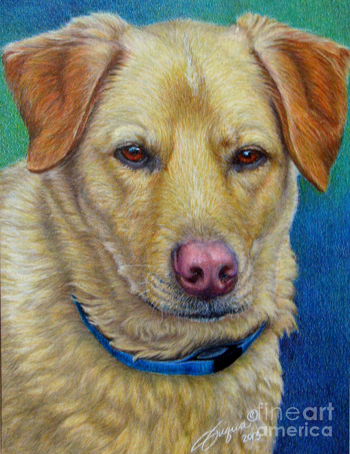 Yellow Lab-Colored Pencil by Beverly Fuqua
